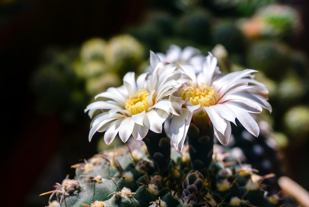 Mooie witte bloemen van bloeiende cactus gymnocalycium schroederianum op een onscherpe achtergrond