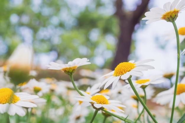Mooie witte camomiles madeliefje bloemen veld op groene weide
