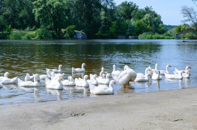 Mooie witte ganzen op een zonnige dag. een zwerm vogels rust op de oever van de rivier. binnenlandse watervogels.
