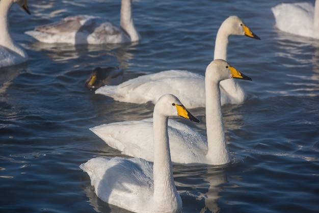 Mooie witte gierende zwanen