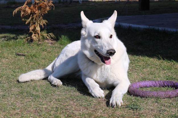 Mooie witte hond op een werf op grasportret
