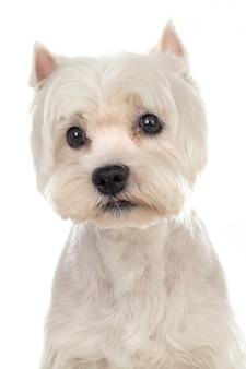Mooie witte hond