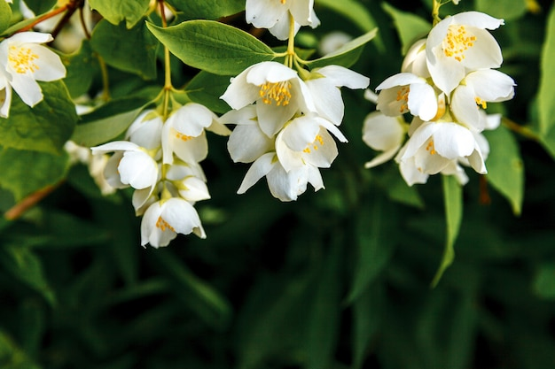 Mooie witte jasmijnbloesem bloemen in het voorjaar