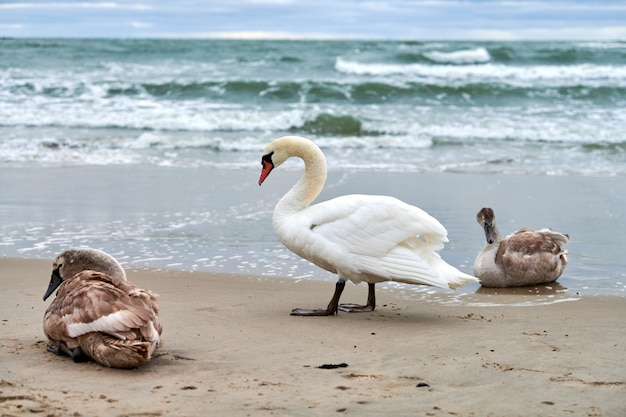 Mooie witte knobbelzwanen met bruine jonge zwanen rustend op het zandstrand in de buurt van de oostzee. zwerm watervogels in de wilde natuur.