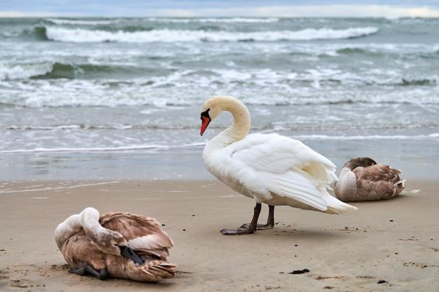 Mooie witte knobbelzwanen met bruine jonge zwanen rustend op het zandstrand in de buurt van de oostzee
