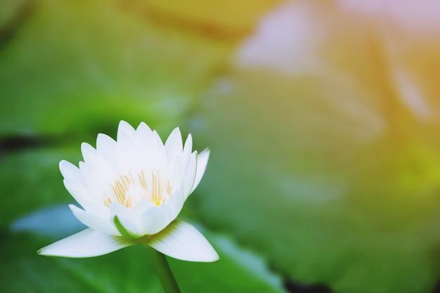 Mooie witte lotusbloem in het meer en lotusbloemplanten, pure witte lotusbloem.