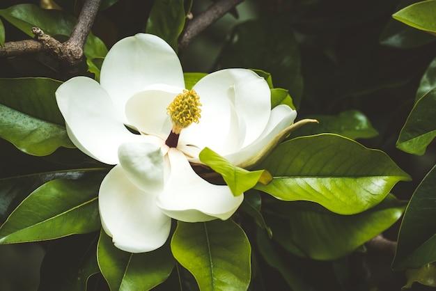 Mooie witte magnoliabloem onder bladeren