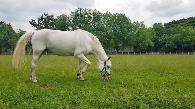 Mooie witte paard voederen in een groene weide. schattig paard gras eten in de weide op een zonnige zomerdag. huisdieren. ruimte kopiëren.