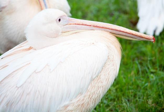 Mooie witte pelikaan op groen gazon in de buurt van vijver in park