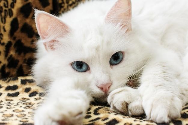 Mooie witte pluizige kat met blauwe ogen ontspannen op de bank.