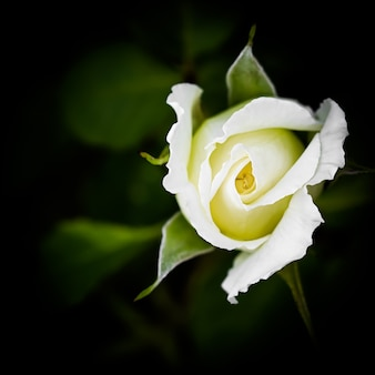 Mooie witte roos geïsoleerd op zwarte achtergrond ideaal voor wenskaarten voor bruiloft verjaardag