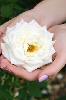Mooie witte roos in vrouwelijke handen.