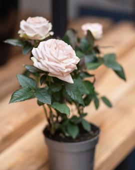 Mooie witte roze bloemplant