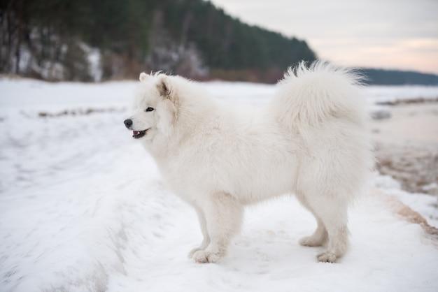Mooie witte samojeed hond is op sneeuw saulkrasti strand witte duin in letland