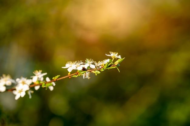 Mooie witte tak met pruim en appel bloemen in de ochtend lentetuin.