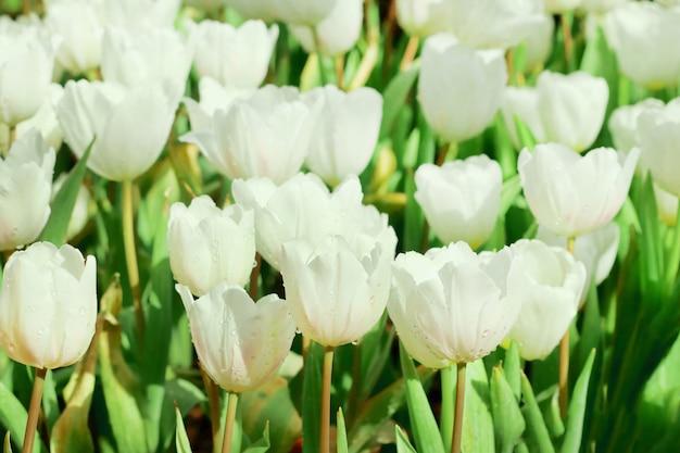 Mooie witte tulpenbloem met groen blad op tulpengebied.