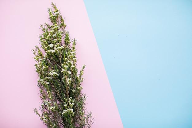 Mooie witte waxflower op veelkleurige papieren achtergronden met kopie ruimte. lente, zomer, bloemen, kleurenconcept, vrouwendag.