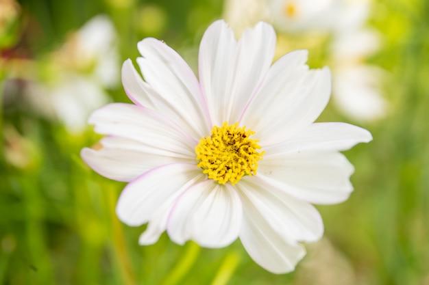 Mooie witte wilde kosmosbloemen in tuin.