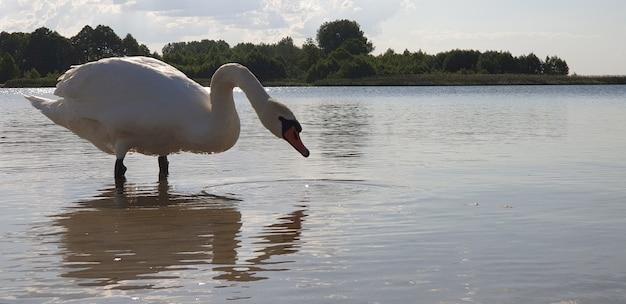 Mooie witte zwaan loopt door het ondiepe water van een schoon, fris meer en drinkt water