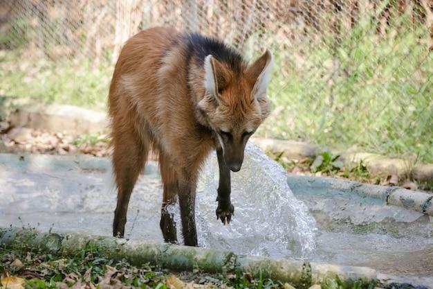 Mooie wolf in het bos in zijn huis in de natuur in bruine kleur