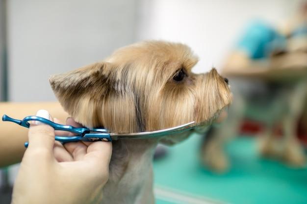 Mooie yorkshire terrier hond wordt verzorgd in salon