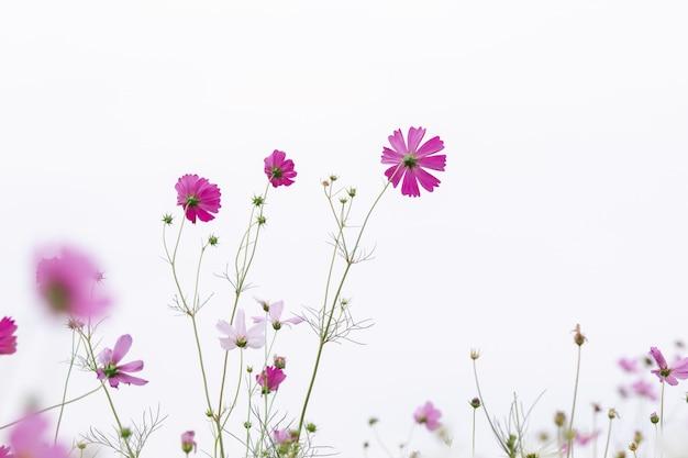 Mooie zachte selectieve focus roze en witte kosmos bloemen veld met kopie ruimte
