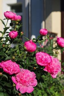 Mooie zachtroze pioenroos bloemen in de tuin op een zonnige zomerdag. detailopname. het concept van tuinieren, wenskaarten of de komst van de zomer