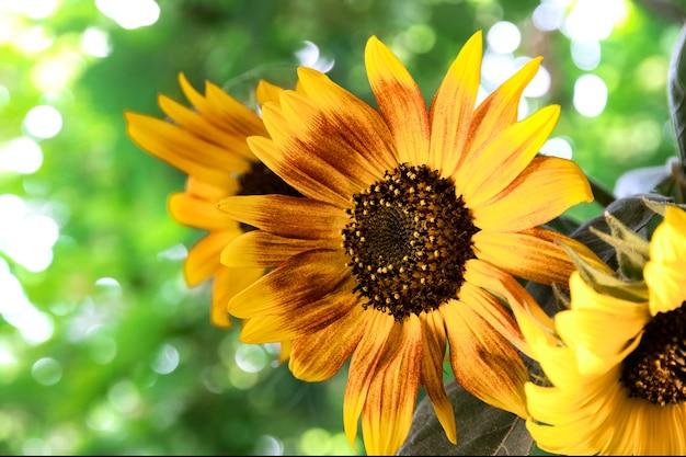 Mooie zomerse boeket zonnebloemen op een achtergrond van groene bomen lifestyle huisdecoratie op een zonnige dag