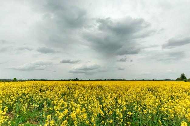Mooie zomerse landschap geel koolzaad veld en blauwe hemel. kopieer ruimte.