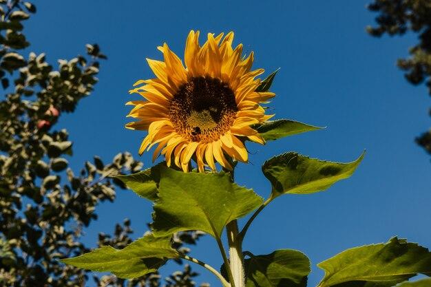 Mooie zonnebloem in het veld
