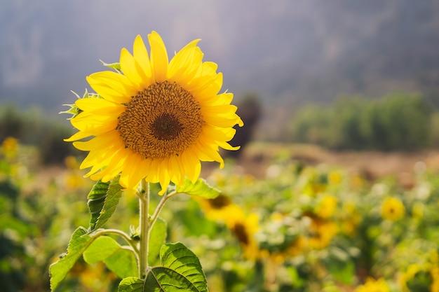 Mooie zonnebloem in veld met bergachtergrond