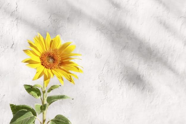 Mooie zonnebloem op achtergrond van oude verweerde witte betonnen muur.