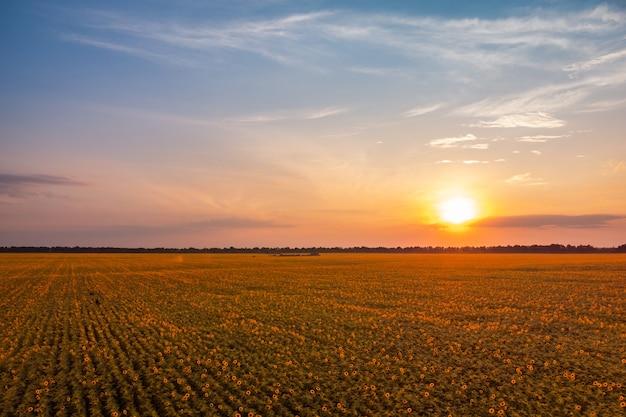 Mooie zonnebloem veld in de avond. helder landschap van bloeiende zonnebloemen met een ondergaande zon op de achtergrond