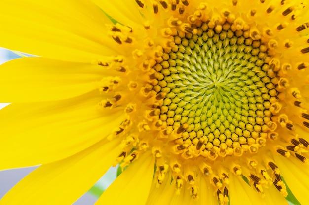Mooie zonnebloemclose-up in de tuin