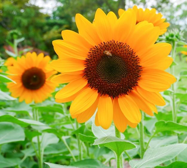 Mooie zonnebloemen bloeien in de tuin