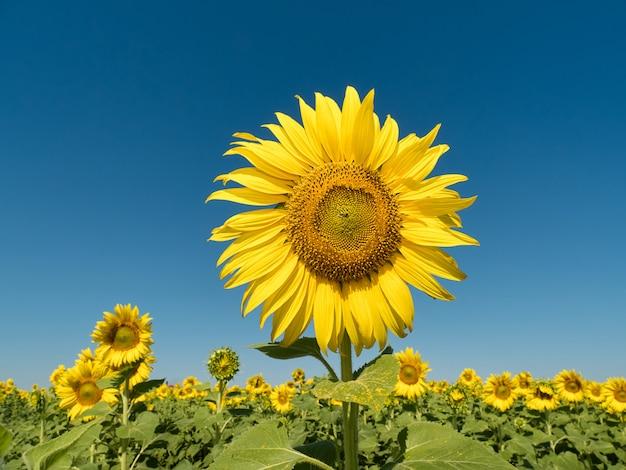 Mooie zonnebloemen in de blauwe hemel