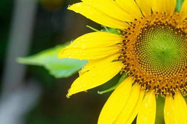 Mooie zonnebloemen in de tuin.