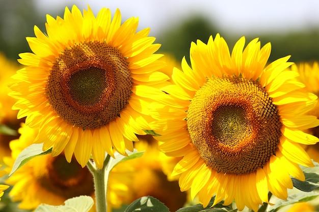 Mooie zonnebloemen
