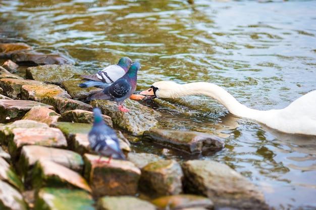 Mooie zwanen die voedsel eten dat toeristen in de rivier vltava en charles bridge van praag wierp. karluv most en witte zwanen