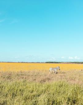 Mooie zwangere zebra en schattige baby lopen langs de steppe en eten gras op een zonnige dag. wild paard in het reservaat