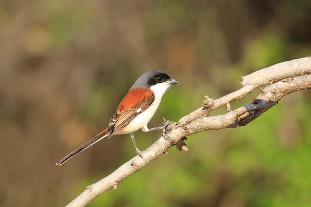 Mooie zwart en oranje vogel, klauwier met lange staart (lanius schach) zitstokken op een tak