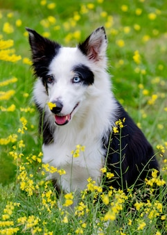 Mooie zwart-witte border collie-hond