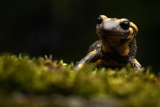 Mooie zwarte en gele vuursalamander op het mos 's nachts i