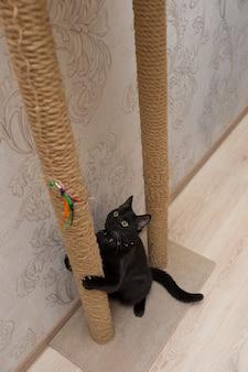 Mooie zwarte kat speelt op een krabpaal