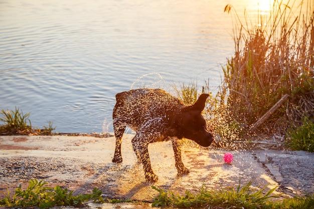 Mooie zwarte labrador-hond die in de zomer in een vijver of meer speelt, een natte hond rent en spettert water met wol