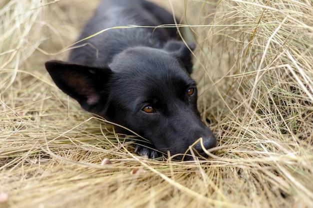 Mooie zwarte puppyhond zittend op het hooi in de herfst in de natuur en denkt als een filosoof