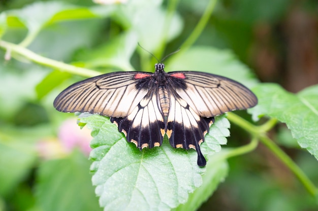 Mooie zwarte swallowtail-vlinder op een groene leafe tegen groene achtergrond, het wild