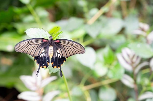 Mooie zwarte swallowtail vlinder op een groene leafe tegen groene achtergrond