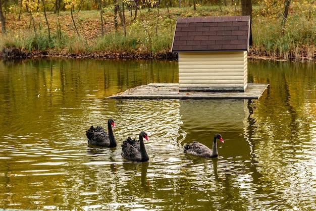 Mooie zwarte zwanen zwemmen langs de oevers van een kleine rivier. rust in de herfst