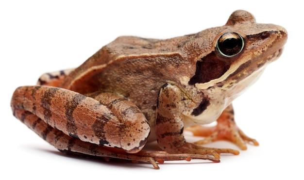 Moor frog - rana arvalis, geïsoleerd op wit